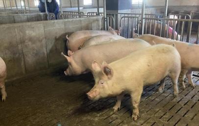 flandre-:-les-producteurs-de-porcs-se-lancent-dans-le-label-rouge